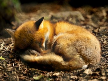 504320__lazy-red-fox_p